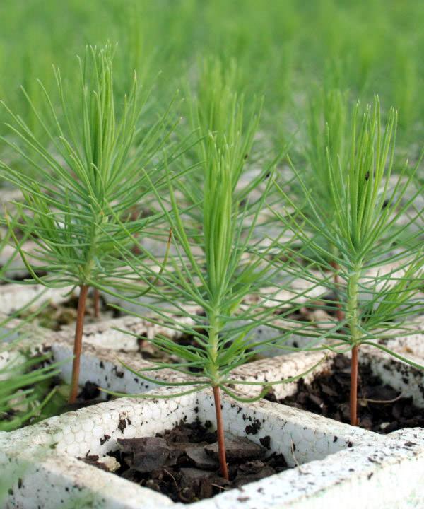 Sutherland Seedlings Products Sutherland Seedlings