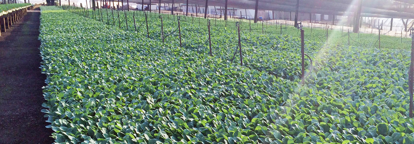 Sutherland Seedlings Plants Growers S Baby Cabbages Cuttings